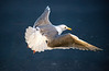seagull in flight-Coupeville Wharf, WA 3-4-2013