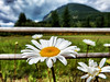 daisies, fence, meadow, Mount Si-Snoqualmie Valley Trail, North Bend, WA 6-2-2013