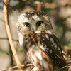Saw-whet Owl in Owl Woods