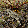 Greater short horned lizard seen on a transect hike. PHOTO BY MEGHAN RIEHL