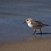 Sandpiper at Biddeford Beach