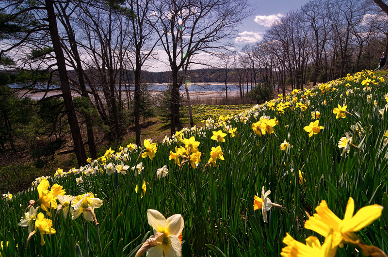 Laurel Hill Daffodils 20x30