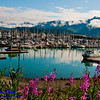 Fireweed and snowy Kenai mountains and blue skies and wild beauty encircles beautiful Seward Harbor and its boats on Resurrection Bay within Seward and the Kenai Peninsula (USA Alaska Seward)