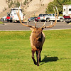 Bull elk charging our car with me as the primary target!  Mammoth Hot Springs, Yellowstone National Park.