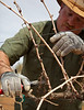 Pruning grape vines in March. Each vine in the vineyard must be pruned.