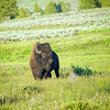 Buffalo Grazes on Grass