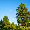 Pine Tree in Yellowstone Park