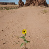 Wildflower in Utah Desert