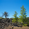 Trees Grow in Lava Fields