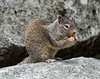 Ground squirrel, Yosemite