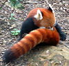 Darling Red Panda baby.