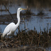 Great egret.