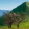 California_Oak_Trees_Bear_Mountain