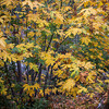 Los_Angeles_Nature_San_Gabriel_Mountains_Fall_Color_Big_Leaf_Maples