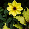Yellow Dahlia.  This image is on display in the art gallery at Cantigny Gardens , Wheaton, IL through 12/2014
