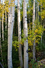 Fall aspens in the Sawatch #3; Mount Antero trail.