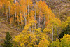 (NO-13331)  Autumn Aspens in the Williams Fork Mountains