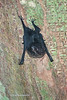 White-lined Bat-6591