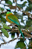 Blue-crowned Motmot-7180
