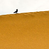 Crow on the Dunes-after Sunrise