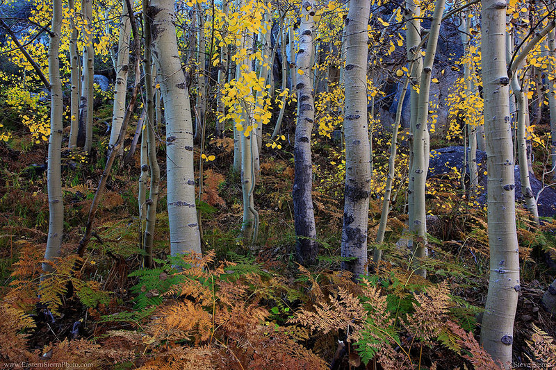 Fall aspens and ferns in Bishop Canyon Eastern Sierra in Autumn