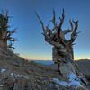 Ancient, Bristlecone 2