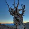 Ancient Bristlecone 1