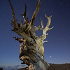 Ancient Bristlecone and Venus