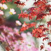 Japanese Maple & Dogwood Flower