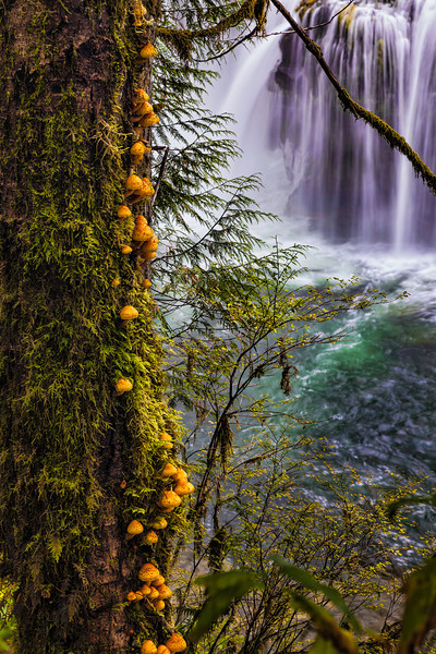 Mushrooms Adorn the Side of a Tree at the at Lower Lewis Falls. Gifford Pinchot National Forest, Washington