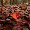 A maple leaf from the top of the mountain at Molly's Knob contrasts with the oak leaves near the lake.