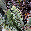 SANTA CRUZ ISLAND Hardy native fern
