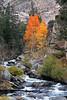 Running Brook and Golden Aspens. Bishop California