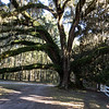 The oak trees located on the plantation are amazing. Most were planted in the 1800's.