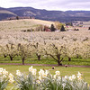 1000's of blooms on the pear trees as they cover the rolling hills near Parkdale, Or