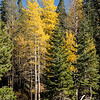 Aspens, Ebbetts Pass