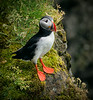 Puffin in a rainstorm