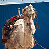 Camel at the road to the Dead Sea