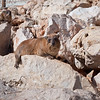 Rock daman, Hyrax sitting on a rock near the Roch Hanikra, Israel