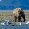 Katmai-Alaska-Kukak-Bay-Grizzly-Brown-Bears-_J701080