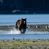Katmai-Alaska-Kukak-Bay-Grizzly-Brown-Bears-_J700864
