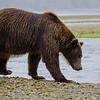 Katmai-Alaska-Kukak-Bay-Grizzly-Brown-Bears-_J701468