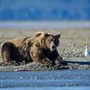 Katmai-Alaska-Kukak-Bay-Grizzly-Brown-Bears-_J701138