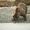 Katmai-Alaska-Kukak-Bay-Grizzly-Brown-Bears-_D8X7705