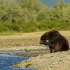 Katmai-Alaska-Kukak-Bay-Grizzly-Brown-Bears-_J700622