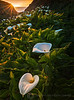 Last Rays of Light on the Cala Lilies