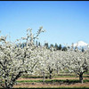 Mount Adams and Orchards