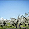 Mount Hood and Pear Orchard