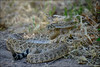 Western Diamondback Rattlesnake in Superstition Mountains Arizona. Est. 4 1/2 to 5 footer