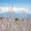 Lavender, Bees, and Mount Shasta